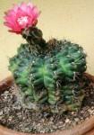 fiore rosso1.JPG