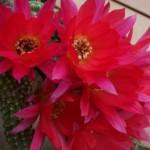 piante grasse in fiore 1