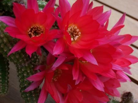 piante grasse in fiore 1  A.A.A opinioni e pensieri in libertà offresi..