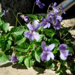 violette tra i sassi