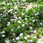 petali e viole