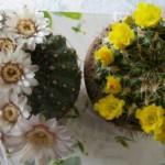 piante grasse fiorite1