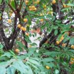Betta tra i frutti del pruno