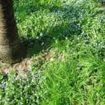 fiorellini azzurri